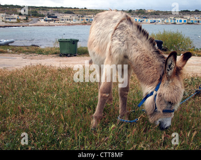 A donkey is eating a grass - Stock Photo