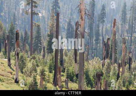Conifer cultivar, Conifer, Green. - Stock Photo