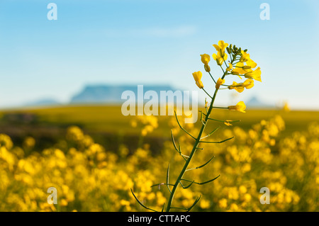 A single caonla flower rsing above the field with Table Mountain in the distant background, South Africa