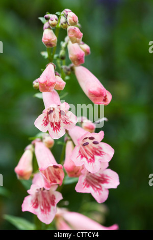 Penstemon 'Hidcote Pink' growing in the border. Beard Tongue flower. - Stock Photo