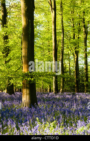 Bluebells in Beechwood - Stock Photo