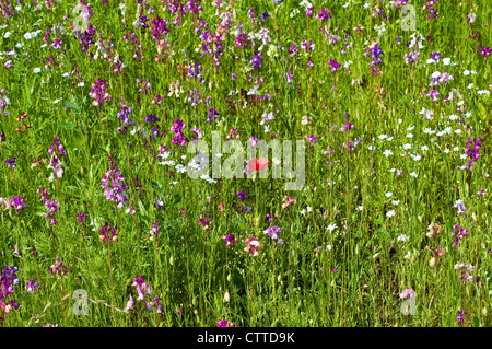Single red poppy in a field of summer wild flowers, England, UK - Stock Photo