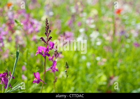 Single purple wildflower in a field of summer wild flowers, England, UK - Stock Photo