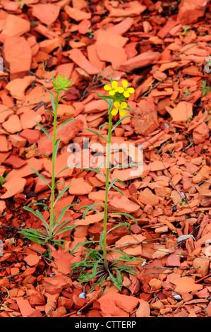 Western wallflower (Erysimum asperum) in scoria soil, Theodore Roosevelt National Park, North Dakota USA - Stock Photo