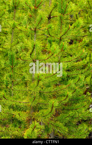 Lodgepole pine (Pinus contorta) seedlings in forest fire area, Yellowstone National Park Wyoming, USA - Stock Photo