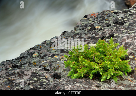 Spruce seedling in rock outcrop near Firehole River, Yellowstone National Park Wyoming, USA - Stock Photo