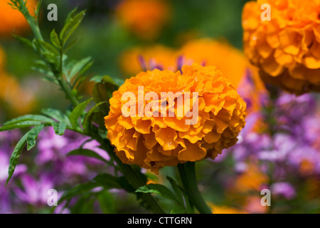 Tagetes erecta. African marigold growing in the garden. - Stock Photo