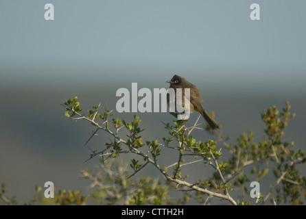 Cape Bulbul (Pycnonotus capensis) on a bush - Stock Photo