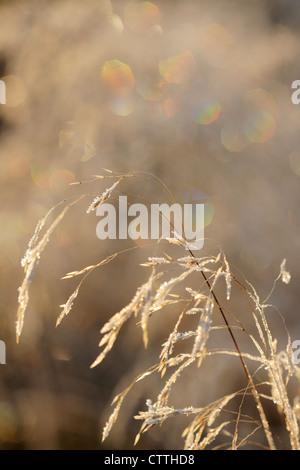 Tufted Hair Grass (Deschampsia cespitosa) with frost Greater Sudbury, Ontario, Canada - Stock Photo