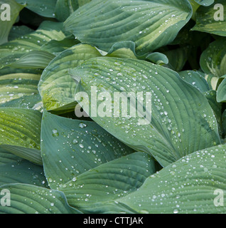 The leaves of a Blue Hosta plant (Pyrenees-Atlantiques) closeup with raindrops - Stock Photo