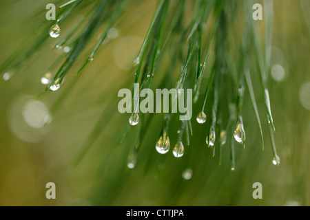 Eastern white pine (Pinus strobus) Needles with raindrops, Greater Sudbury, Ontario, Canada - Stock Photo