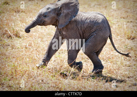 Solitary African Elephant Calf, Loxodonta africana, Masai Mara National Reserve, Kenya, Africa - Stock Photo