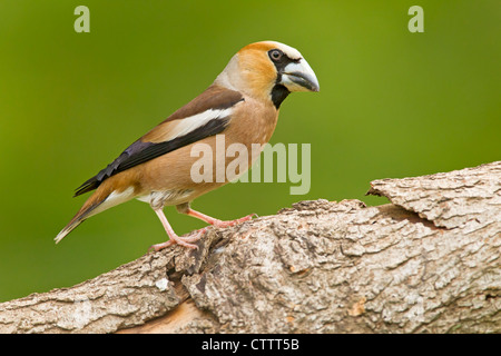 Hawfinch (Coccothraustes coccothraustes) adult male standing on wood in forest habitat, Bulgaria, Europe - Stock Photo
