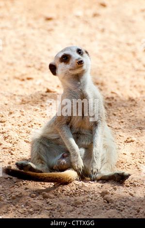 A sitting meerkat (Suricata suricatta) - Stock Photo