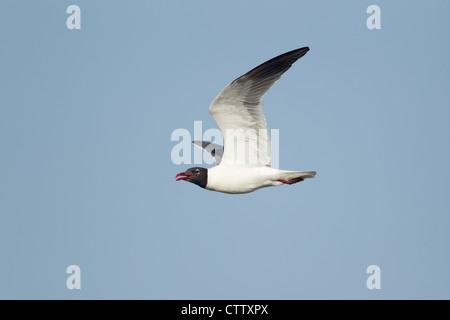 Laughing Gull - in flight Larus atricilla South Padre Island Texas, USA BI022838 - Stock Photo