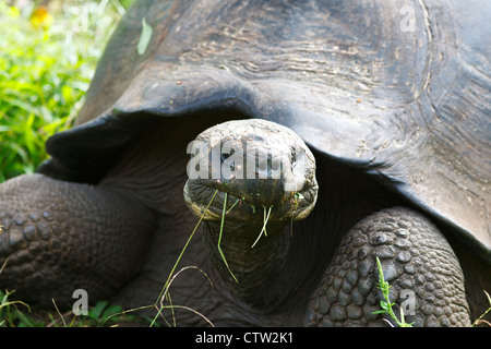 Male Galapagos tortoise / Galapagos giant tortoise (Chelonoidis nigra porteri), Galapagos Islands National Park, - Stock Photo