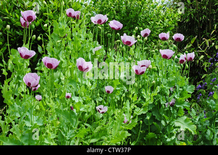 Opium poppy Papaver somniferum flowering in garden. - Stock Photo