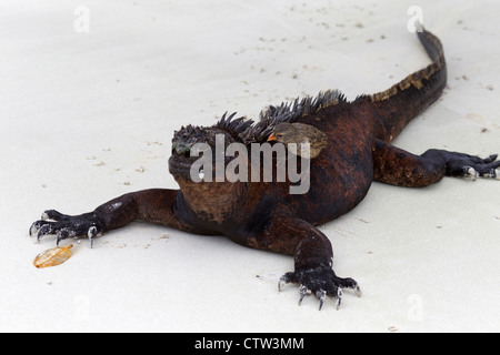 Marine Iguana (Amblyrhynchus cristatus) laying on a beach with a Small Ground-Finch (Geospiza fuliginosa) cleaning - Stock Photo