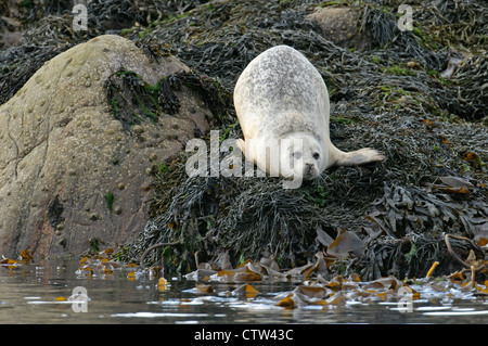 Common seal (Phoca vitulina) hauled out on rocky islet. Sound of Mull, Scotland. June. Also known as harbour seal. - Stock Photo