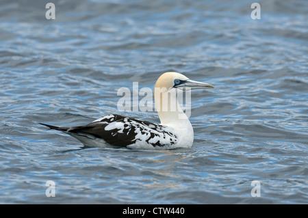 Northern gannet (Morus bassanus) 3rd summer juvenile resting on sea. Scotland. June. - Stock Photo
