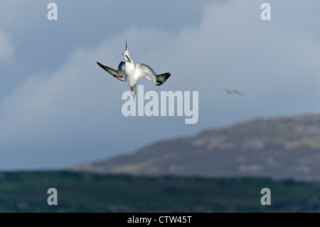 Northern gannet (Morus bassanus) plunge diving for fish in sea loch. Isle of Mull, Scotland. June. - Stock Photo