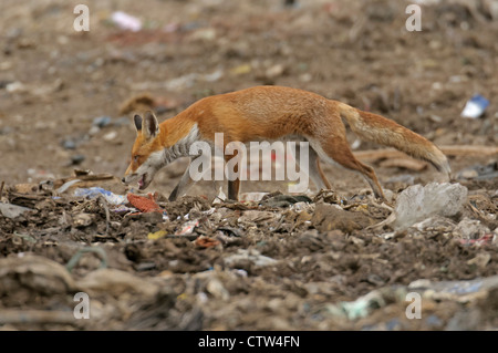 Red fox (Vulpes vulpes) scavenging at landfill site in Essex. August 2011. - Stock Photo