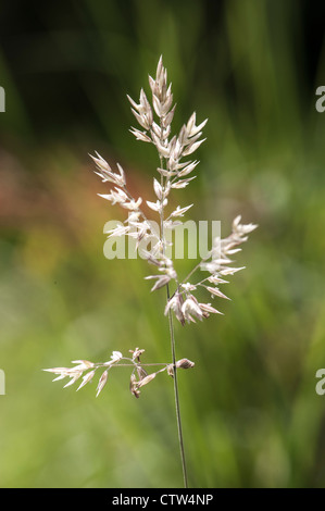 grass seed head during the autumn - Stock Photo