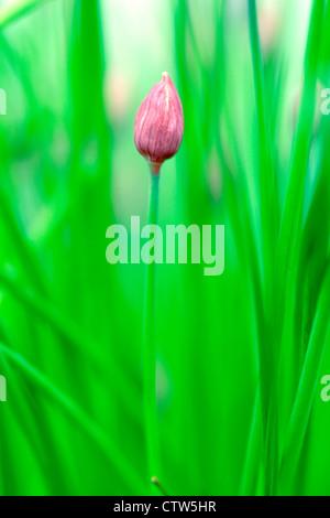Unopened chive flower (Allium schoenoprasum), England, UK - Stock Photo
