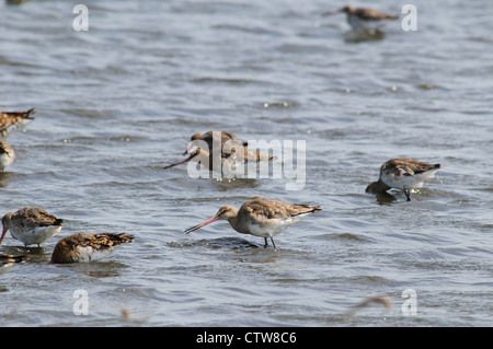 A small flock of black-tailed godwits (Limosa limosa) feeding in water at Oare Marshes Nature Reserve, Kent. May. - Stock Photo