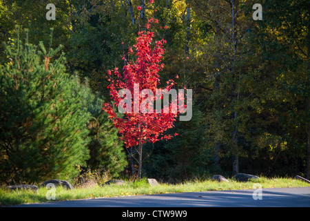 Autumn color and early morning light create vibrant scenes in Acadia National Park on Mount Desert Island in Maine. - Stock Photo