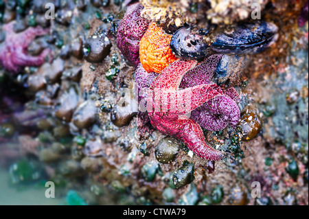 Ochre sea stars feed on a bed of mussels in a tide pool on the Oregon coast. - Stock Photo