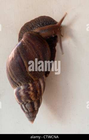 Giant African land snail, Achatina fulica - Stock Photo