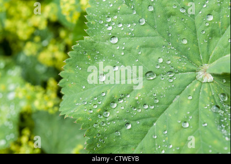 Lady's Mantle Alchemilla herbaceous perennial plants part of the Rosaceae family - Stock Photo