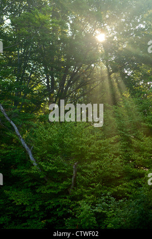 Sunlight streaming through trees in a wooded area - Stock Photo