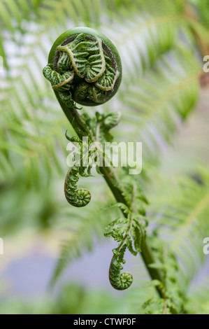 Fern leaf just about to unfurl,  a type of pteridophyte plant - Stock Photo