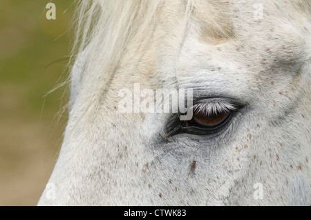 Eye of a flea bitten gray thoroughbred horse with fly near eye - Stock Photo