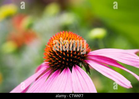 Echinacea purpurea flower head in an herbaceous border. Coneflower. - Stock Photo