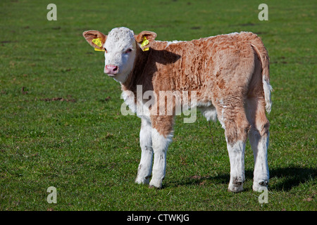 Calf (Bos taurus) from domestic cow marked with yellow ear tags in both ears in field, Germany - Stock Photo