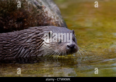 European otter (Lutra lutra) close-up portrait - Stock Photo