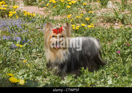 Yorkshire Terrier standing in flowers - Stock Photo