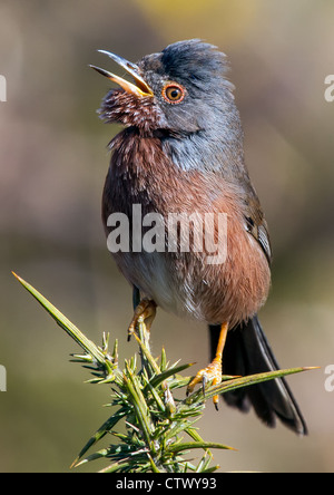 Dartford Warbler on gorse bush. - Stock Photo