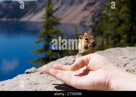 A chipmunk eating out of a human hand at Crater Lake, Oregon. - Stock Photo