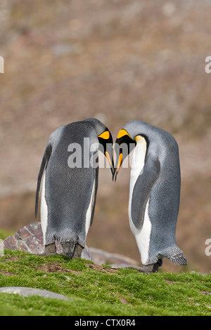 king penguin (Aptenodytes patagonicus) two adults in courtship display, standing on grass, South Georgia, Antarctica - Stock Photo