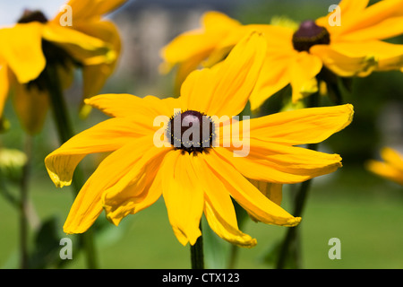 Rudbeckia hirta growing in an herbaceous border. - Stock Photo