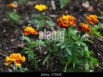 French marigold (Tagetes patula) - Stock Photo