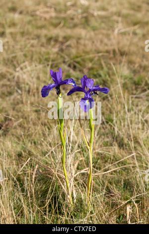 Irises latifolia (English Iris), near the Pic du Midi d' Ossau, in the Pyrenees national Park (Western Pyrenees - Stock Photo