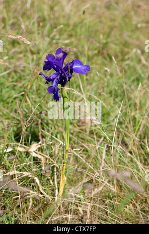 Iris latifolia (English Iris), near the Pic du Midi d' Ossau, in the Pyrenees national Park (Western Pyrenees - - Stock Photo