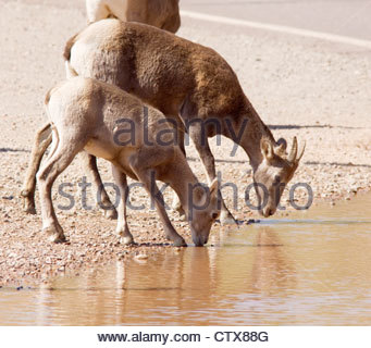 Rocky Mountain Bighorn Ovis canadensis ewe lamb drinking water puddle Arizona - Stock Photo