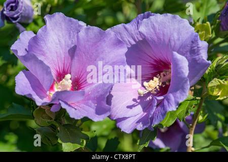 Hibiscus syriacus Malvae Malvaceae mallow rosemallow hibiskus weed garden gardening sun sunny full bright blossom - Stock Photo