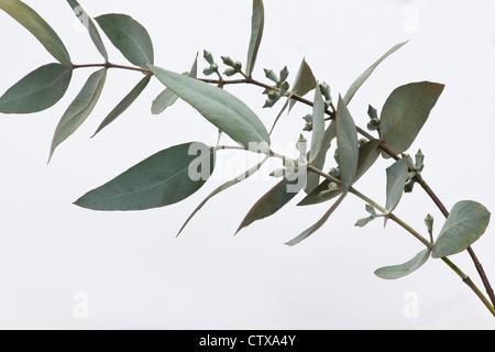 Silver dollar eucalyptus (Eucalyptus perriniana) branch and leaves on white background - Stock Photo